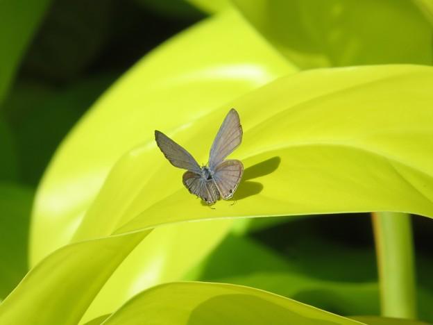 南海の島の蝶々13