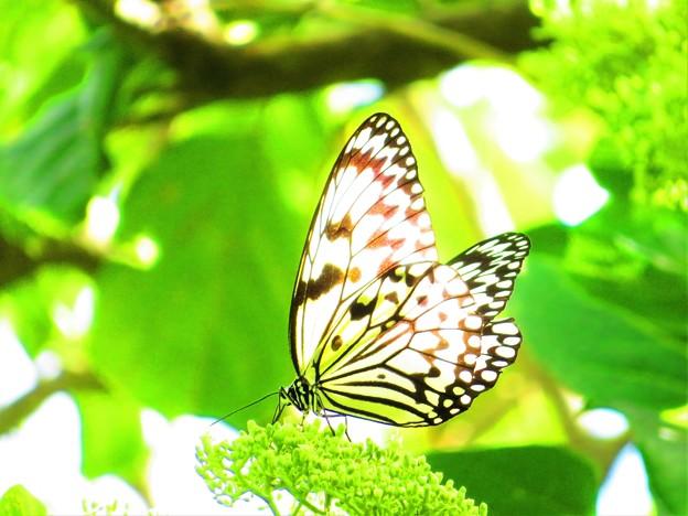 今日出会った蝶1