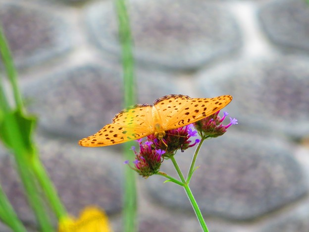 今日出会った蝶3