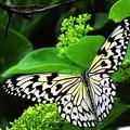 写真: オオゴマダラチョウ