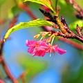 今日見た沖縄の秋空 桜