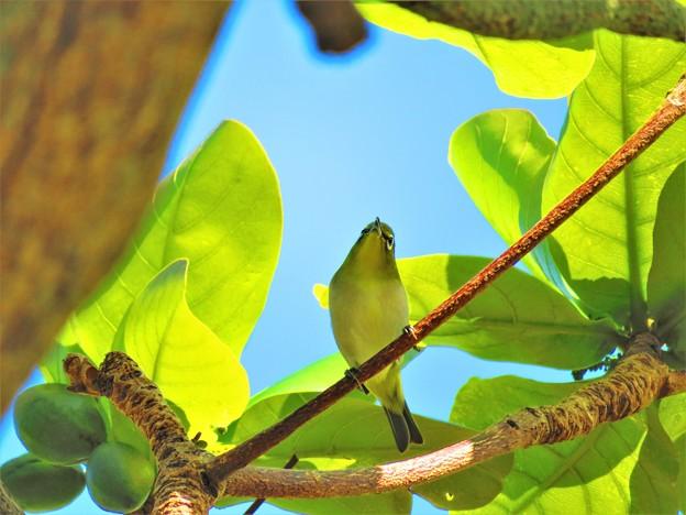 Photos: 今日見た沖縄の秋空 メジロ