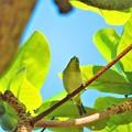 写真: 今日見た沖縄の秋空 メジロ