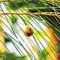 写真: 沖縄で観た風景 カタツムリ