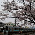 Photos: 桜並木を駆け抜けて。