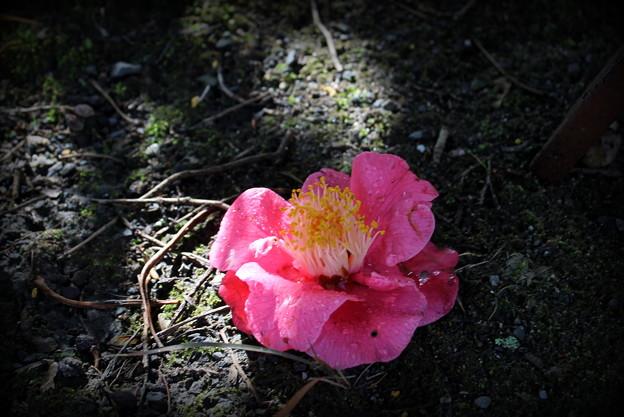 写真: 椿の落花