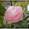 写真: ツバキ ピンク