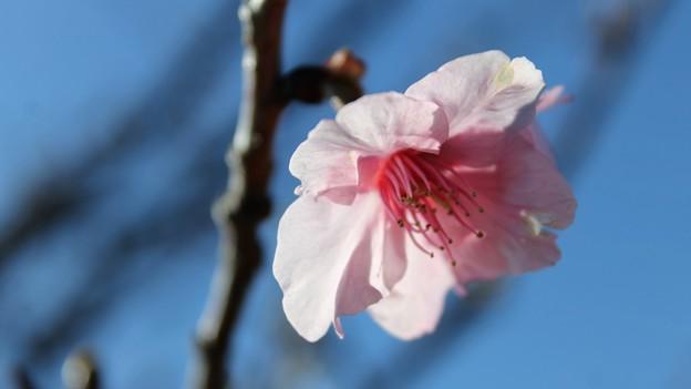 ほんの少し 河津桜