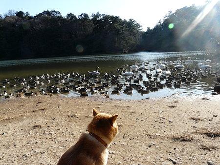 コガモ 〜 小さくて気高くて  (水の森公園4)