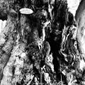 と或るスダジイの木