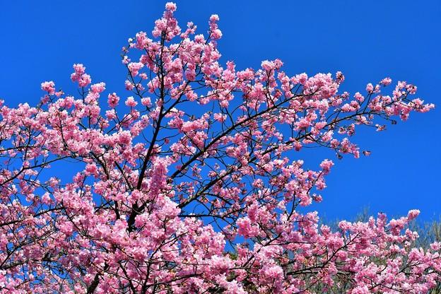 今年も河津桜が咲きました