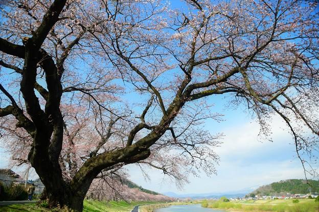 大きな桜の木の下で