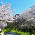 Photos: 桜吹雪の~サトミぃ~の空へ~