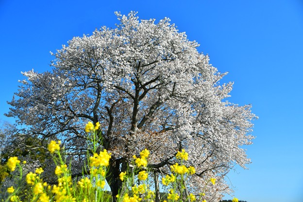 Photos: 菜の花と与市郎桜