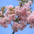 鎌足桜 (2)