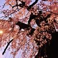Photos: 枝垂れる