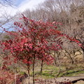 写真: 冬の紅葉♪