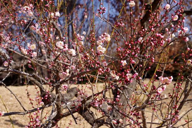 写真: 梅の花  淡路