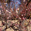 梅の花  淡路