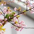写真: 河津桜にインコ♪