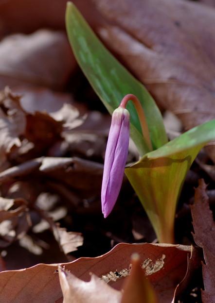 写真: 今、咲きます♪