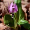 写真: カタクリの花