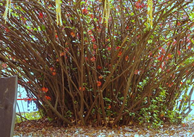 木瓜の根周り