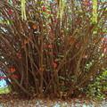 写真: 木瓜の根周り