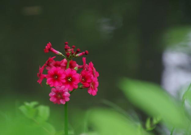 写真: 九輪草 赤