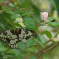 写真: 薔薇に蛾のお客様