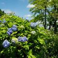 写真: 山に咲く
