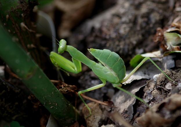 写真: 螳螂