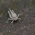 写真: 昆虫 -3  ヒシバッタ