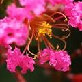 写真: 百日紅~下にミツバチちゃん