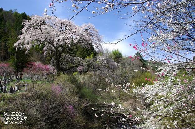 黒船の桜 (4)
