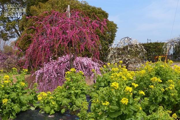 名古屋市農業センター (89)菜の花