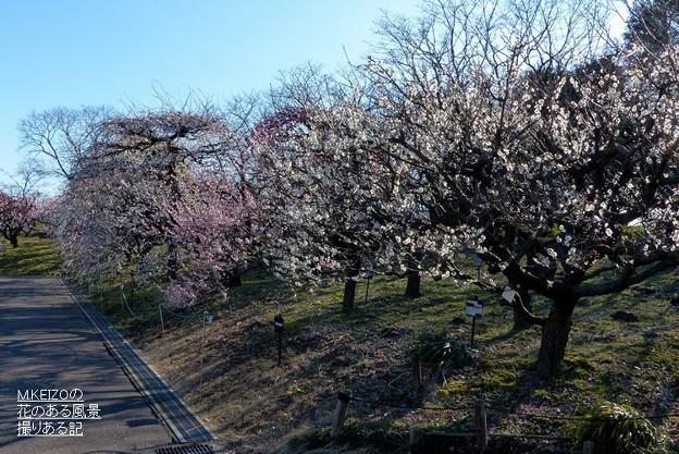 梅品種見本園 (1)
