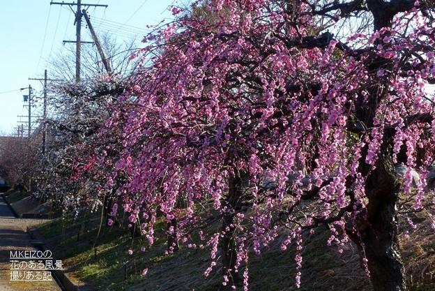 梅品種見本園 (2)