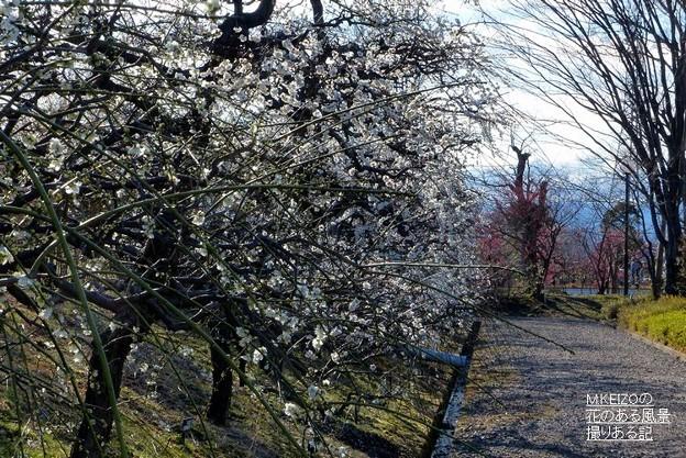 梅品種見本園 (3)