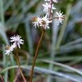 セリバオウレン (29)7輪咲きの両性花