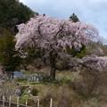 清内路・黒船桜 (2)