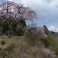 清内路・黒船桜 (4)