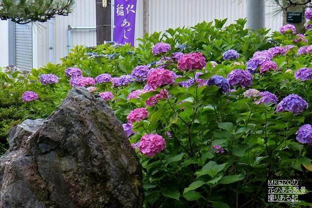 稲沢あじさいまつり (80)