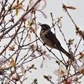 写真: 春告げ鳥
