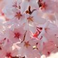 写真: 春ピンク