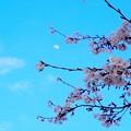 写真: 月に桜
