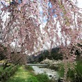 写真: 阿智村のしだれ桜