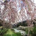 阿智村のしだれ桜