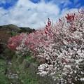 写真: 昼神温泉花桃の里