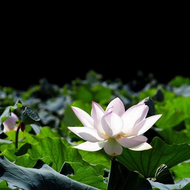 Photos: 朝に咲く